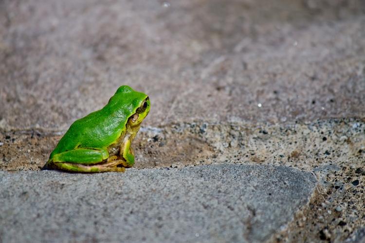 【蛙の夢占い診断】蛙を殺す夢、蛙に飛びつかれる夢などカエルの夢の意味