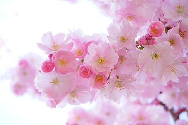 春のお花見デート♡桜の名所や桜イベントおすすめ4選!