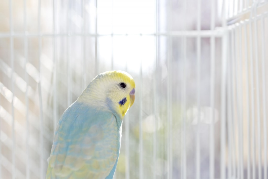 鳥の夢占い◆カゴの中の小鳥の夢の意味